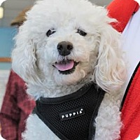 Miniature Poodle Mix Dog for adoption in San Francisco, California - Janis