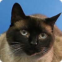 Siamese Cat for adoption in Overland Park, Kansas - Trudy