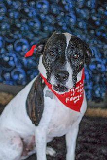 American Bulldog Dog for adoption in Tampa, Florida - MALACHI (JW)