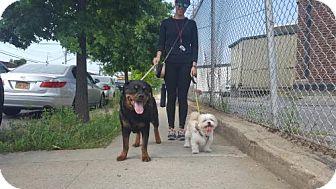 Rottweiler Dog for adoption in Brooklyn, New York - Maya