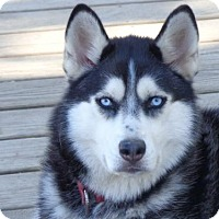 Siberian Husky Dog for adoption in Raleigh, North Carolina - Pammie
