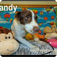 Spaniel (Unknown Type) Mix Puppy for adoption in Ringwood, New Jersey - Candy