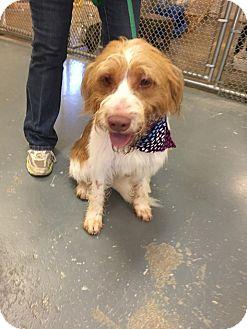 Terrier (Unknown Type, Medium) Mix Dog for adoption in Hawk Point, Missouri - Chewie