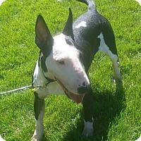 Adopt A Pet :: Tara - Hillside, IL