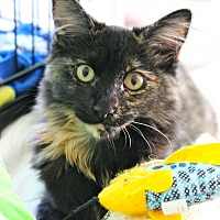 Calico Cat for adoption in Orange, California - Kandi