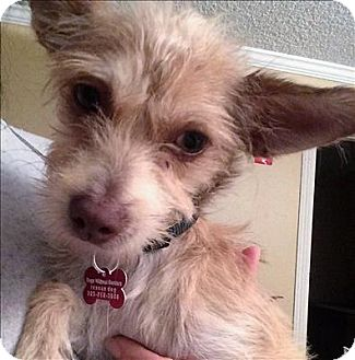 Terrier (Unknown Type, Small) Mix Dog for adoption in Encino, California - Bella