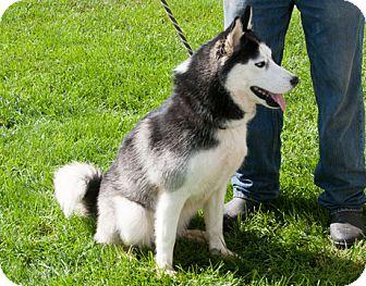 Siberian Husky Dog for adoption in Harvard, Illinois - Rayn (and Snow)