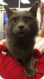 Domestic Shorthair Cat for adoption in Lawton, Oklahoma - PRINCE