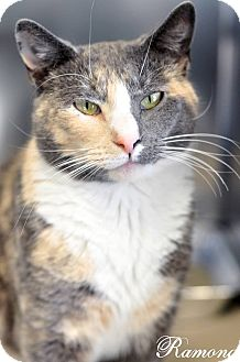 Domestic Shorthair Cat for adoption in Manahawkin, New Jersey - Ramona