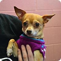 Adopt A Pet :: Gizmo - Akron, OH