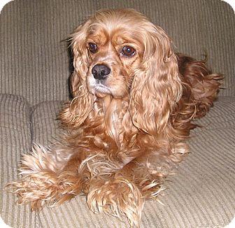 Cocker Spaniel Dog for adoption in Tacoma, Washington - JOEY2