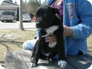 Labrador Retriever Mix Puppy for adoption in Crawfordville, Florida - Bullwinkle