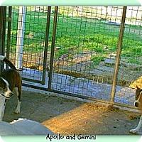 Adopt A Pet :: Apollo - Eddy, TX
