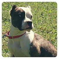 Adopt A Pet :: Clover - Louisville, KY