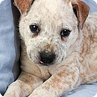 Adopt A Pet :: Hayden Heeler - St. Louis, MO