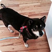 Adopt A Pet :: Haiku - Centennial, CO