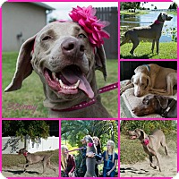 Adopt A Pet :: STORMY - Davenport, FL