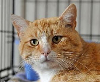 Domestic Shorthair Cat for adoption in Alamogordo, New Mexico - GOLDENTAIL