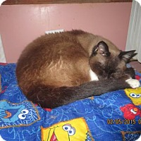 Siamese Cat for adoption in Coos Bay, Oregon - DeeDee