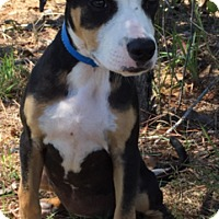 Adopt A Pet :: Belle - Charlemont, MA
