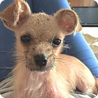 Adopt A Pet :: Huckleberry - Henderson, NV