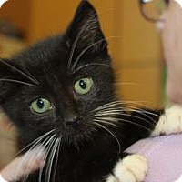Adopt A Pet :: Whiskers - Louisville, KY
