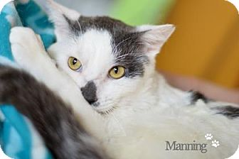 Domestic Shorthair Cat for adoption in West Des Moines, Iowa - Manning