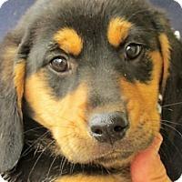 Adopt A Pet :: Quinn - Germantown, MD