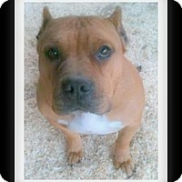 Pit Bull Terrier Mix Dog for adoption in Winchester, California - JOLEEN