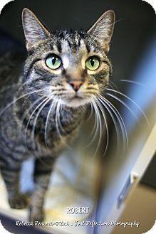 Domestic Shorthair Cat for adoption in Appleton, Wisconsin - Robert