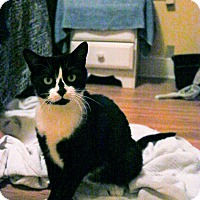 American Shorthair Cat for adoption in Charlotte, North Carolina - Katy perry