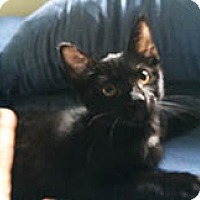 American Shorthair Kitten for adoption in Metairie, Louisiana - Bebe
