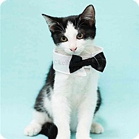 Adopt A Pet :: Han the handsome boy - Oviedo, FL