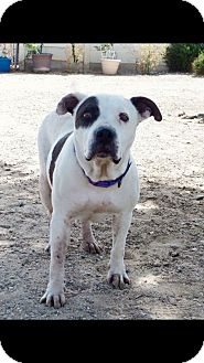 Pit Bull Terrier/American Bulldog Mix Dog for adoption in grants pass, Oregon - Maggie