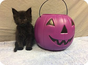 Domestic Mediumhair Kitten for adoption in Moody, Alabama - Binx