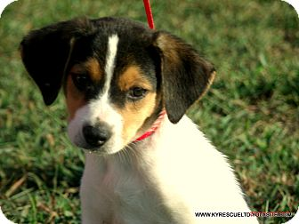 Border Collie/Beagle Mix Puppy for adoption in PRINCETON, Kentucky - CHARLIE/in Maine
