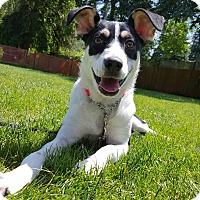 Sheltie, Shetland Sheepdog/Jack Russell Terrier Mix Puppy for adoption in Bothell, Washington - Dezi