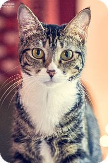 Domestic Shorthair Cat for adoption in Gainesville, Florida - Thalia