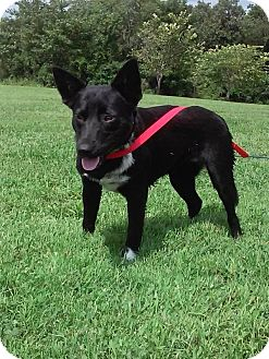 Cattle Dog Mix Dog for adoption in Columbia, Kentucky - spike