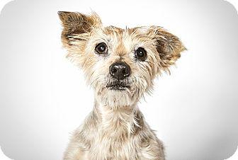 Yorkie, Yorkshire Terrier Mix Dog for adoption in New York, New York - Yoda