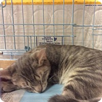 Domestic Shorthair Cat for adoption in Whitehall, Pennsylvania - Bandit