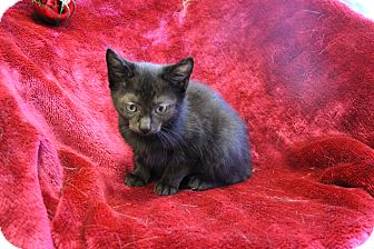 Domestic Shorthair Kitten for adoption in Greensboro, North Carolina - Isablelle