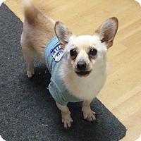Adopt A Pet :: Bebo in CT - Manchester, CT