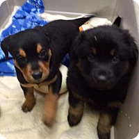 Adopt A Pet :: Ridgeback/Rottie/Aussie mix pups coming 2-1 - Pottstown, PA