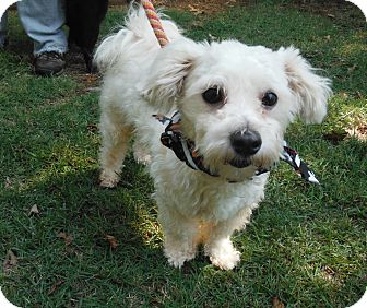 Maltese Mix Dog for adoption in Adamsville, Tennessee - Maxwell