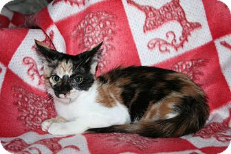 Domestic Shorthair Kitten for adoption in Santa Rosa, California - Cabernet