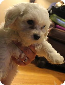 Maltese Mix Puppy for adoption in Chicago, Illinois - OLIVE