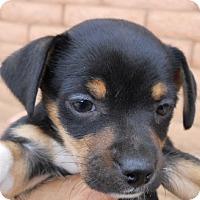 Adopt A Pet :: Rosie - dewey, AZ