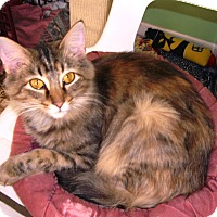 Domestic Mediumhair Cat for adoption in Alden, Iowa - Marianne