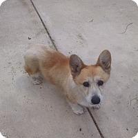 Adopt A Pet :: BEAR - Simi Valley, CA